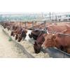 Коровы,  телята оптом и в розницу