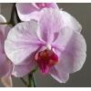 Орхидеи и антуриумы почтой по России.